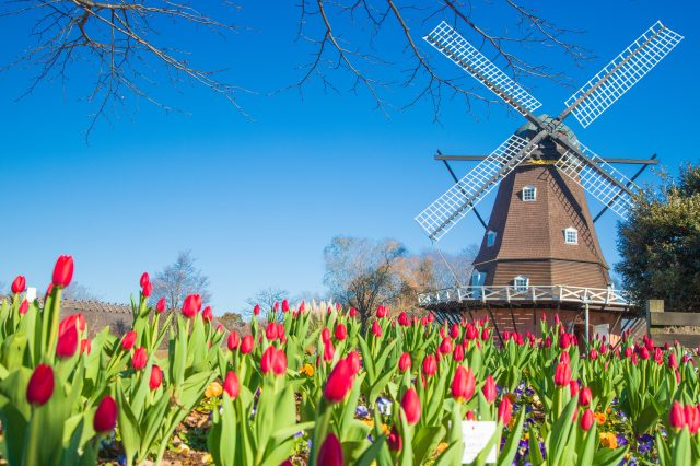 The Windmill with Tulips