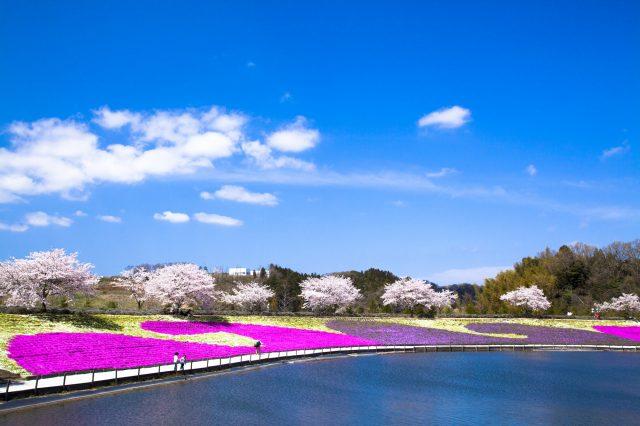 櫻花和芝櫻