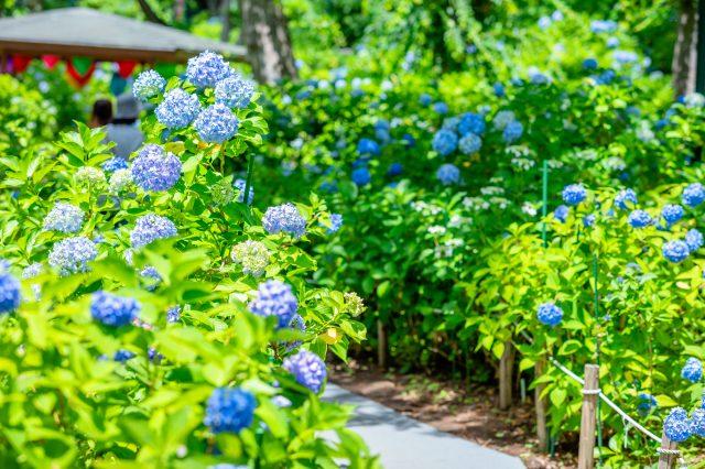 初夏會有10,000株的繡花球盛開