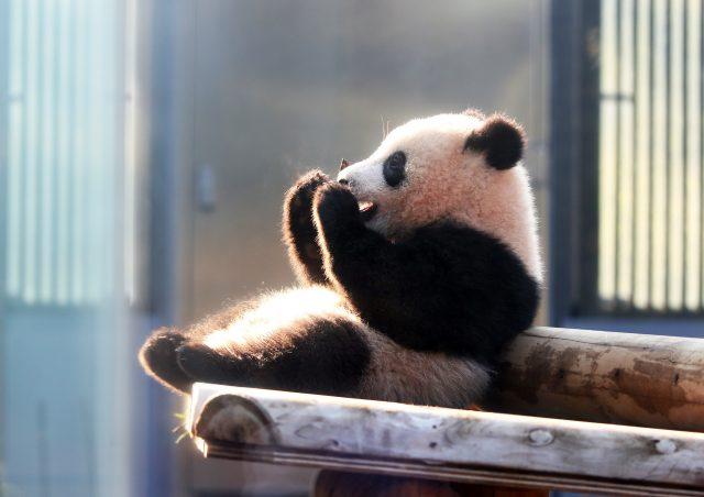 可愛的大熊貓香香