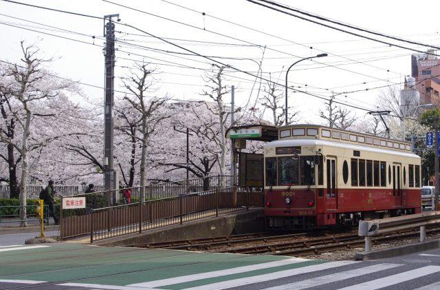 Tokyo Sakura Tram (都電荒川線)面影橋車站附近的櫻花也相當漂亮