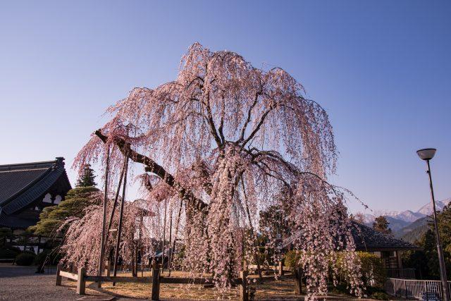 枝垂櫻和廟宇