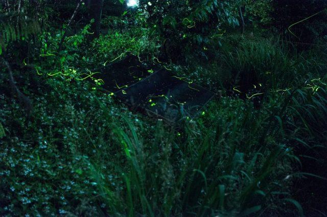 夏天的螢火蟲