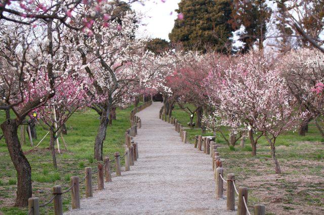 Ume Plum Blossom Trees