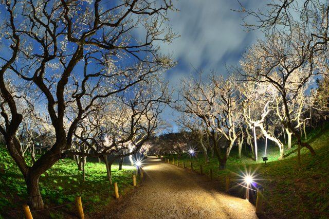 Night Illumination of Ume Plum Trees