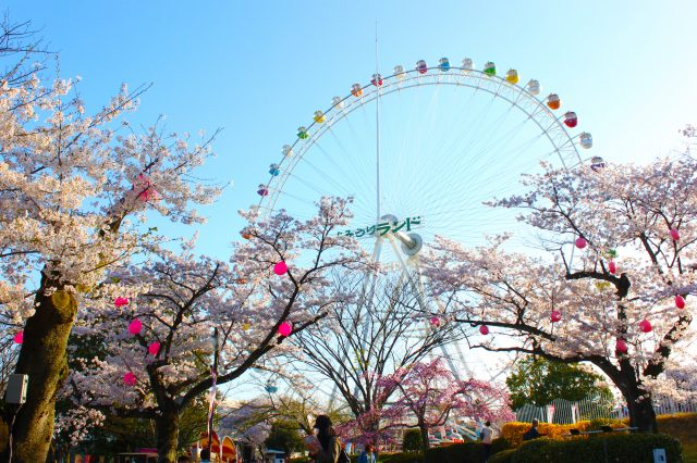 Ferris Wheel and Sakura Flowers