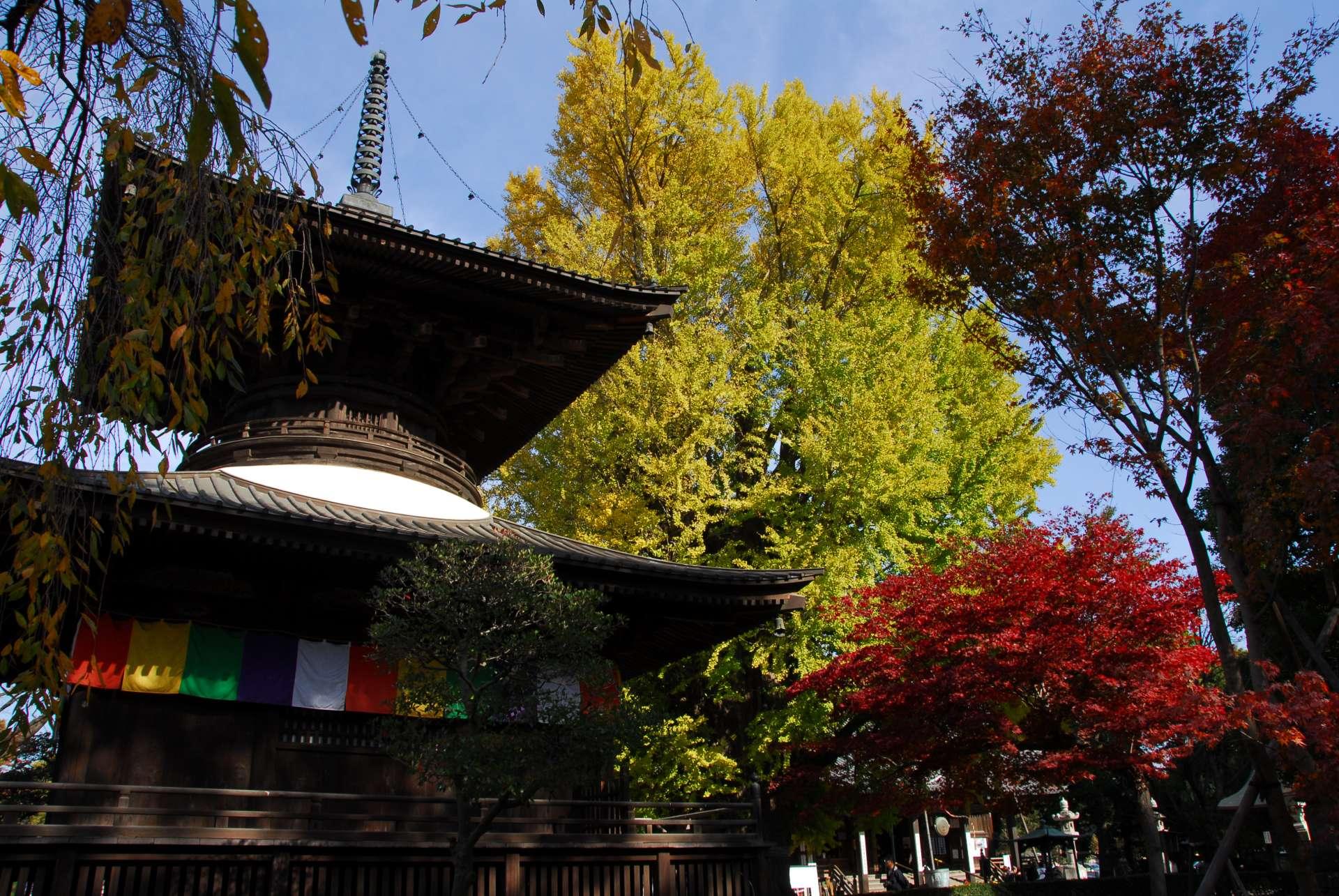 多寶塔和背景的大銀杏樹,加上周圍的紅葉共同編織出迷人的景緻。