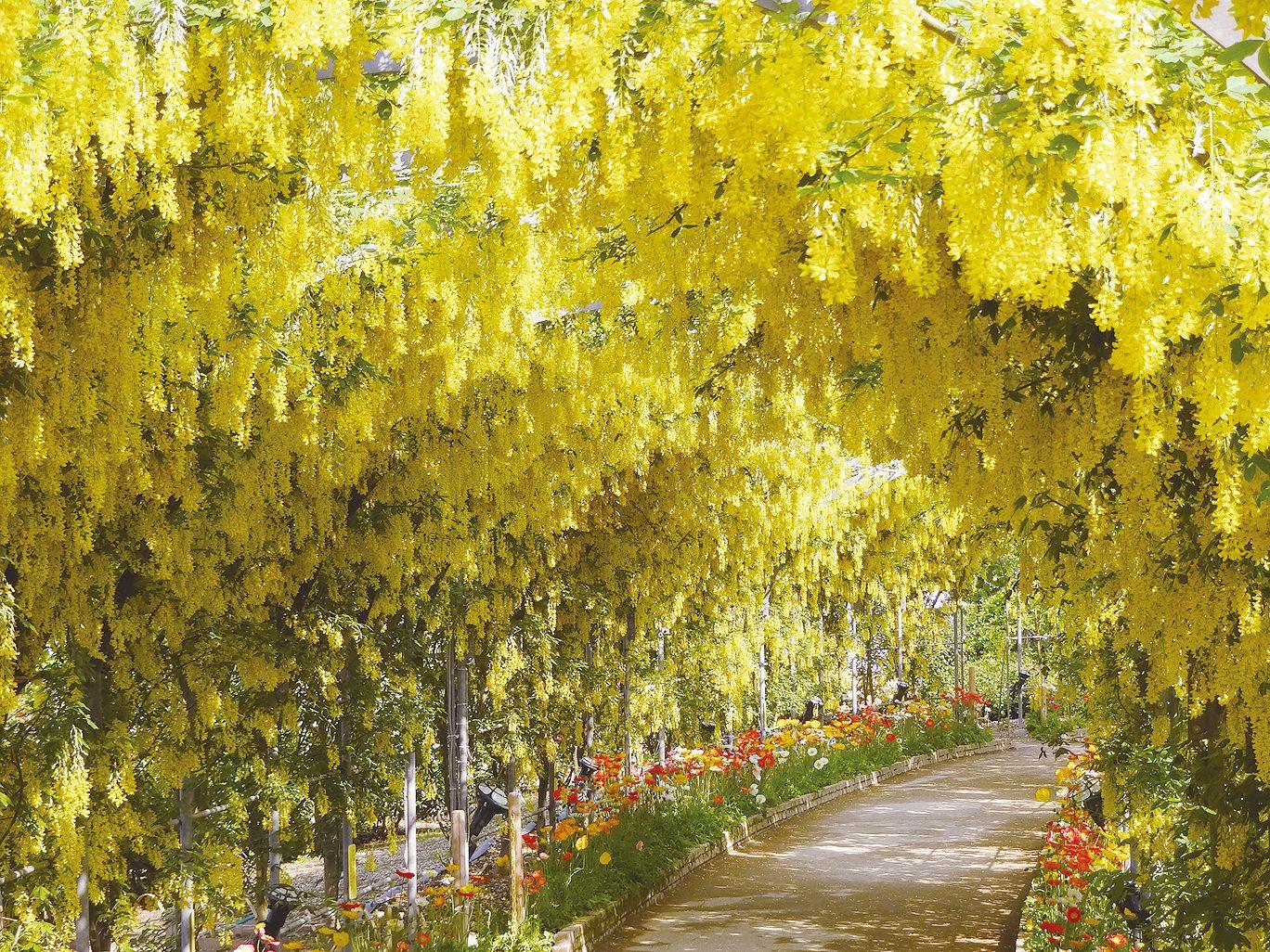 อุโมงค์วิสทีเรียดอกเหลืองแสนสดใสสวยงาม