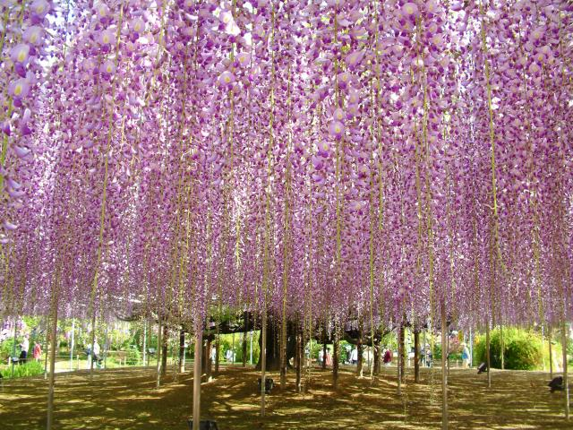 A great wisteria that is over 150 years old